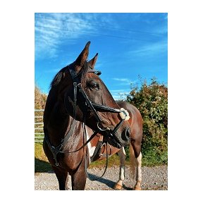 Cameo Equine Core Collection Grackle Bridle